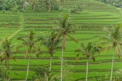 ладони и зеленые поля риса Стоковая Фотография RF