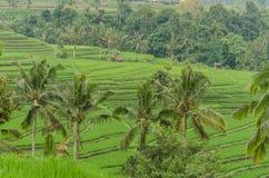 ладони и поля риса в Бали Стоковое Изображение