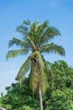 ладони иллюстрации конструкции кокоса предпосылки белые Стоковые Изображения RF