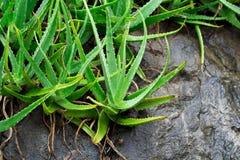 Алоэ Вера в Таиланде, естественных травах Стоковое Изображение