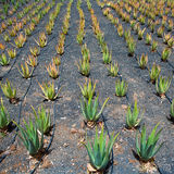 Алоэ Вера fields в Лансароте Orzola на Canaries Стоковое Изображение RF