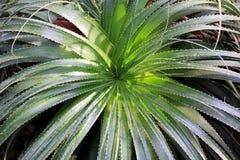 алоэ зеленый vera Стоковое Изображение