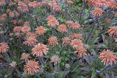 алоэ цветет vera стоковое изображение
