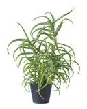 Алоэ Arborescens Стоковые Изображения RF