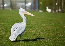 Альбинос пеликана идет на траву Стоковое Изображение