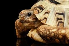 Альбинос черепахи леопарда крупного плана, pardalis Stigmochelys, белая раковина, изолированная черная предпосылка стоковые фотографии rf