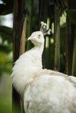 Альбинос Pavo реальный Стоковые Фотографии RF