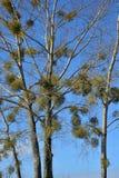 Альбом омелы или Viscum на дереве Стоковая Фотография RF