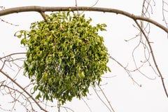 Альбом Viscum на дереве Стоковое фото RF