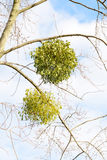 Альбом Viscum на дереве Стоковая Фотография RF