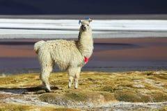 Альпака в Саларе de Uyuni, пустыне Боливии Стоковые Фото