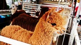 Альпака в ферме Стоковые Изображения RF