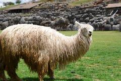Альпака на месте inca Saqsaywaman Cusco Перу Стоковое Изображение