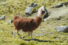 Альпака на altiplano Стоковое Фото