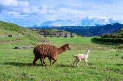Альпака на Sacsayhuaman, Cuzco, Перу Стоковое Фото