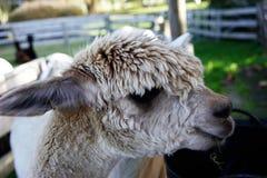 Альпака, Новая Зеландия Стоковое фото RF