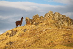 альпака Перу Стоковые Фотографии RF