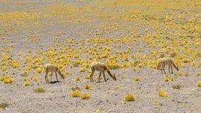 Альпаки в андийских гористых местностях Стоковое Изображение