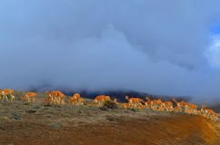 Альпаки в вулкане Chimborazo, эквадоре