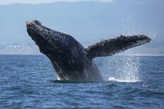 Аляска пробивая брешь кит sw звука humpback frederick Стоковые Изображения