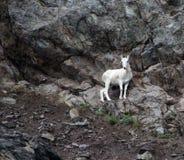 Аляскская коза горы 1 Стоковая Фотография
