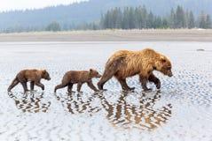 Аляскская семья бурого медведя на пляже Стоковая Фотография
