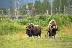 Аляскские мускусы Стоковые Фото