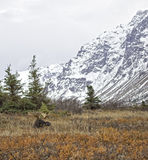 Аляскские лоси падения Стоковое Изображение