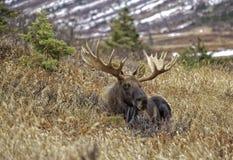 Аляскские лоси падения стоковая фотография