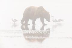 Аляскский бурый медведь в тумане Стоковое Фото