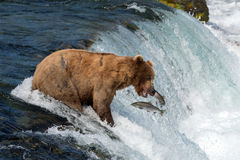 Аляскский бурый медведь пытаясь уловить семг Стоковая Фотография RF