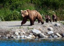 Аляскский бурый медведь с Cubs Стоковые Фотографии RF