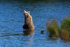 Аляскский бурый медведь с Cubs Стоковые Фото