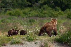 Аляскский бурый медведь с Cubs Стоковое фото RF