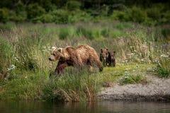 Аляскский бурый медведь с Cubs Стоковое Изображение RF