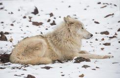 Аляскский волк тундры стоковое изображение