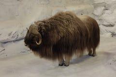 Аляскский вол мускуса Стоковое Фото
