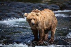 аляскский коричневый цвет медведя Стоковые Изображения