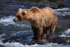 аляскский коричневый цвет медведя Стоковые Фото