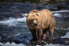 аляскский коричневый цвет медведя Стоковое фото RF