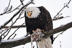 Аляскский орел пожирает семг Стоковая Фотография