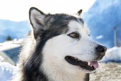аляскский malamute Стоковые Фото