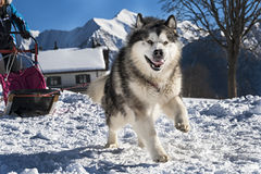 аляскский malamute Стоковая Фотография
