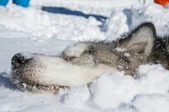 аляскский malamute Стоковое Изображение