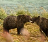 2 аляскских отпрыска бурого медведя играют бой при оголенные зубы, реку Chilkoot Стоковое Изображение RF