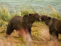 2 аляскских отпрыска бурого медведя играют бой при оголенные зубы, реку Chilkoot Стоковая Фотография RF