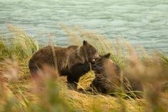 2 аляскских отпрыска бурого медведя играют бой, реку Chilkoot Стоковое фото RF