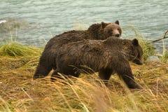 2 аляскских отпрыска бурого медведя идя вдоль реки ища семги, река Chilkoot Стоковые Фотографии RF