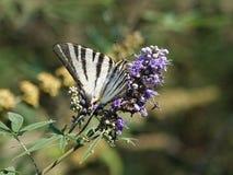 бабочка, 2018, август стоковое изображение rf