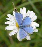 Бабочка Адониса голубая стоковое изображение